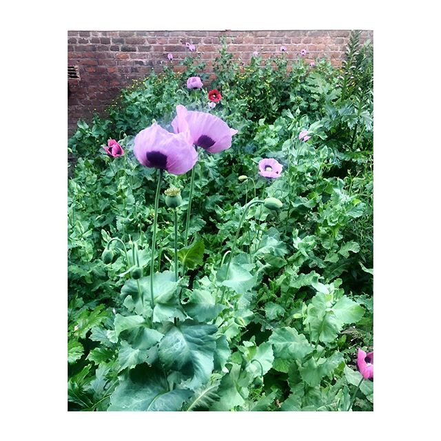 Summer flowers at their best! 🌸🌷 #wild #wildflowers #walledgarden #greenfingers #poppies #gardeninggoals