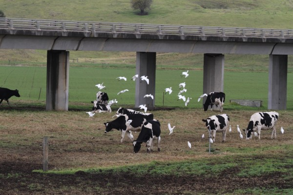 CATTLE EGRET LANDING WITH CATTLE