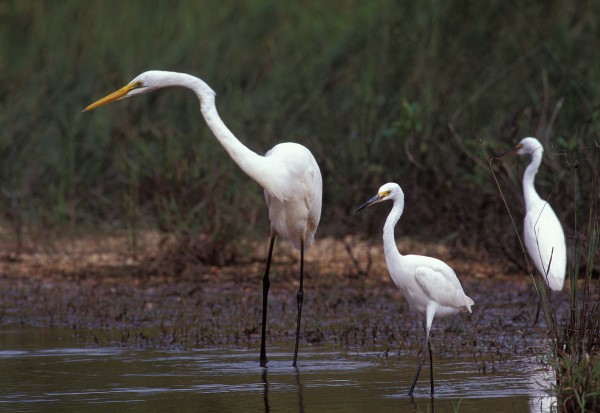 GREAT AND LITTLE EGRET FISHING TOGETHER