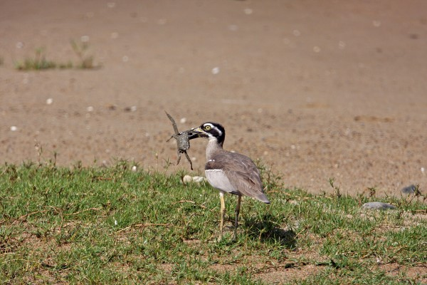 BEACH STONE-CURLEW WITH CRAB