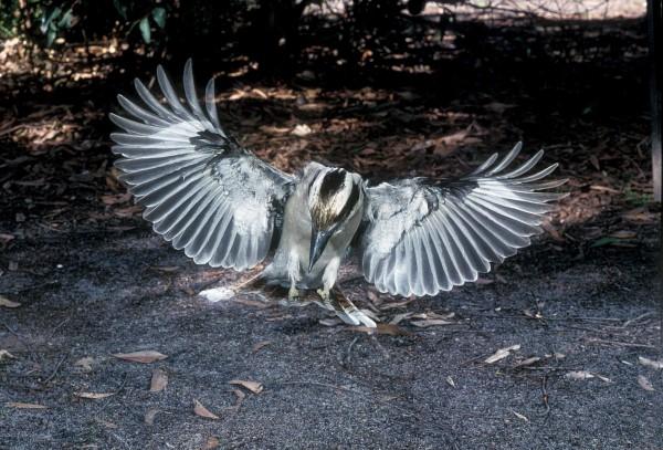 LIKE A LANDING EAGLE. LAUGHING KOOKABURRA