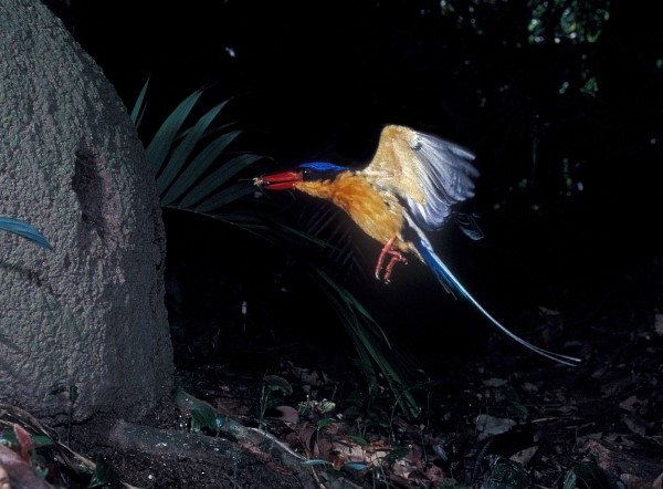 BUFF-BREASTED PARADISE KINGFISHER FLYING TO NEST