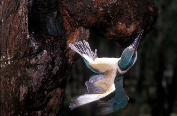 LEAVING THE TREE, THE SACRED KINGFISHER BRIEFLY FLEW UPSIDE DOWN