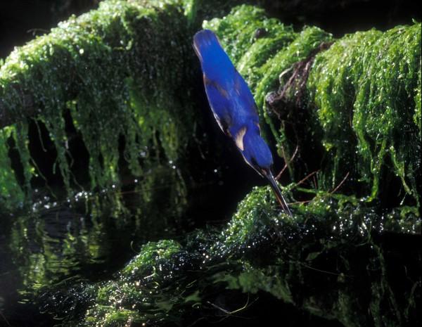 FISHING SEQUENCE. AZURE KINGFISHER