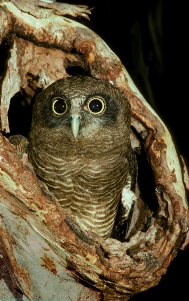 RUFOUS OWL IN NEST HOLLOW