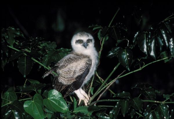 FLEDGLING RUFOUS OWL