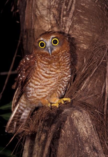 CHRISTMAS ISLAND HAWK OWL