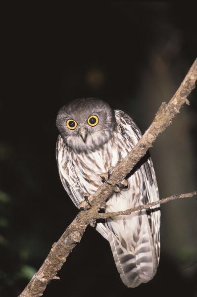 AGGRESSIVE MALE BARKING OWL