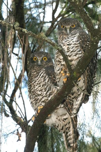 ROOSTING PAIR OF POWERFUL OWLS