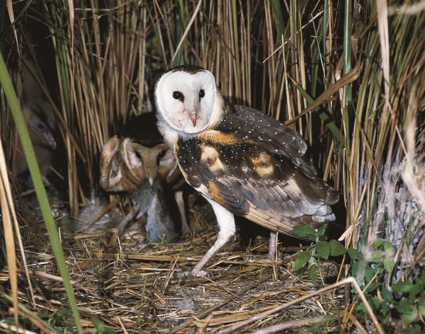 GRASS OWLS AT NEST