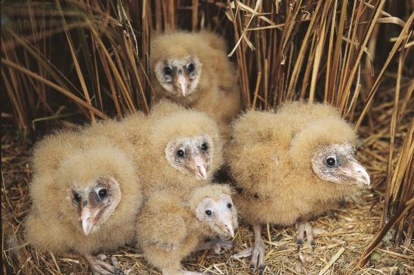 GRASS OWL FAMILY