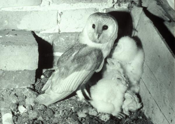 BARN OWL NESTING IN ENGLISH BARN. 1961
