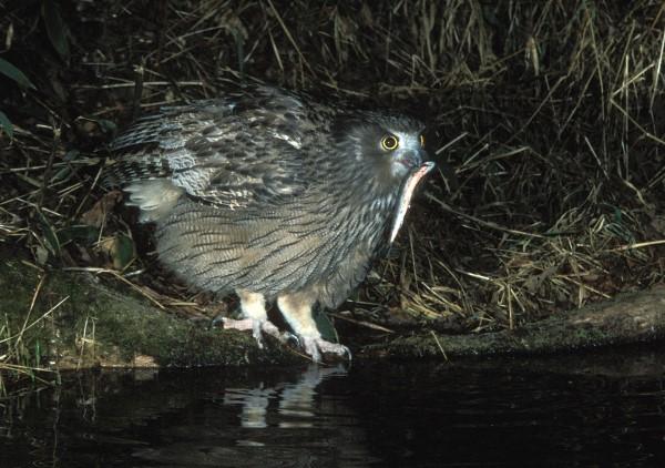 BLAKISTON'S FISH OWL HUNTING