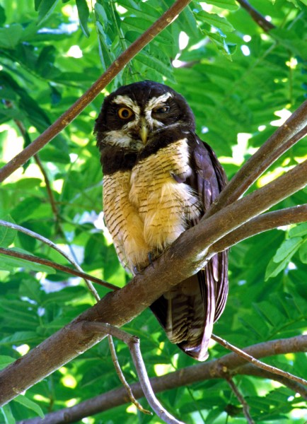 SPECTACLED OWL. COSTA RICA