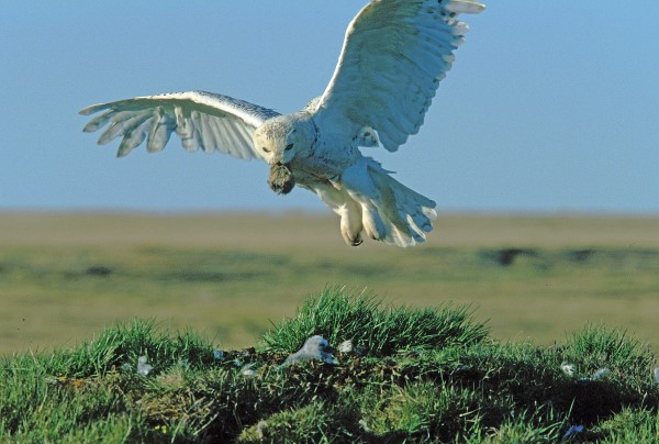 SNOWY OWL LANDING AT 2.00am