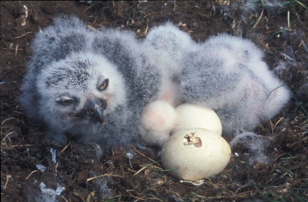 SNOWY OWL EGGS AND CHICKS