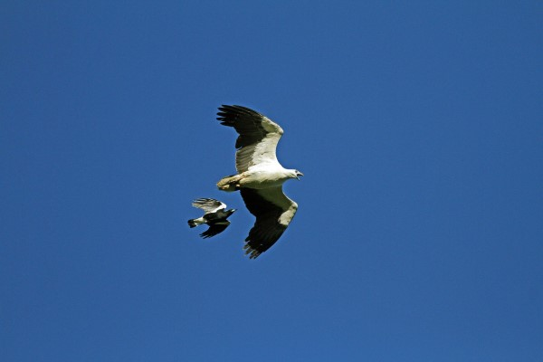 WHITE-BELLIED SEA-EAGLES ARE NOT POPULAR WITH NESTING MAGPIES