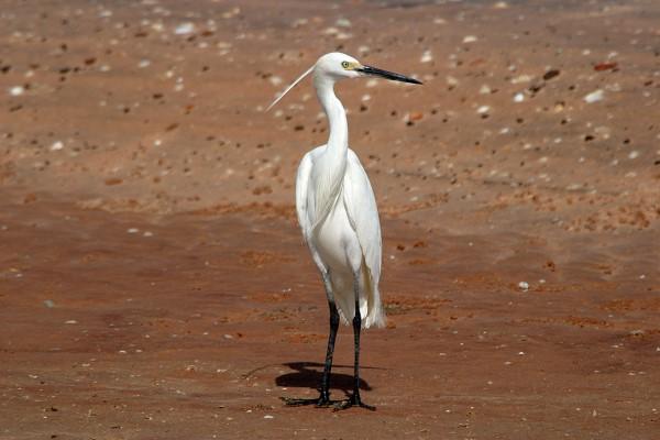 Little Egret on the Beach