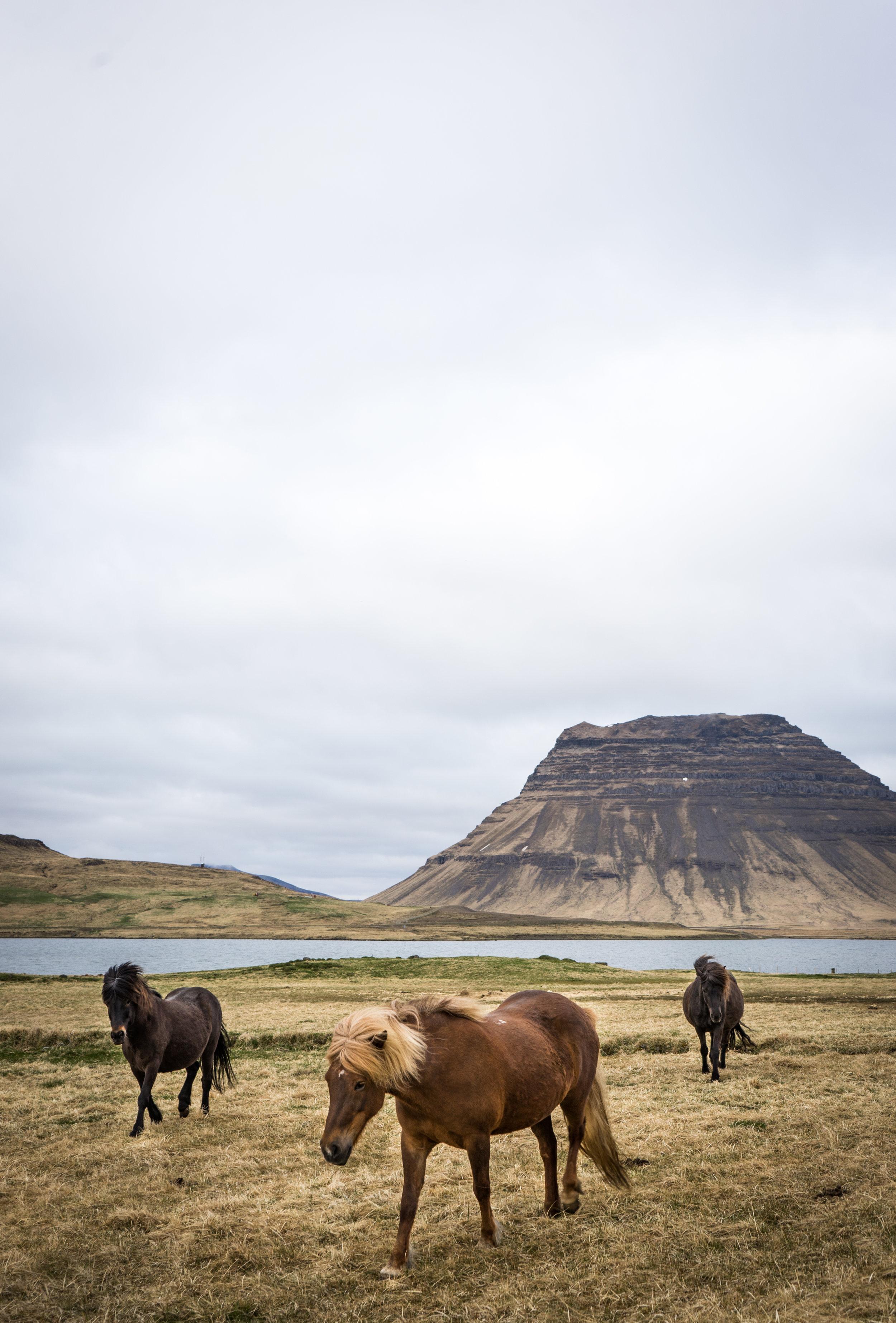 Icelandic Horses (1 of 1).jpg