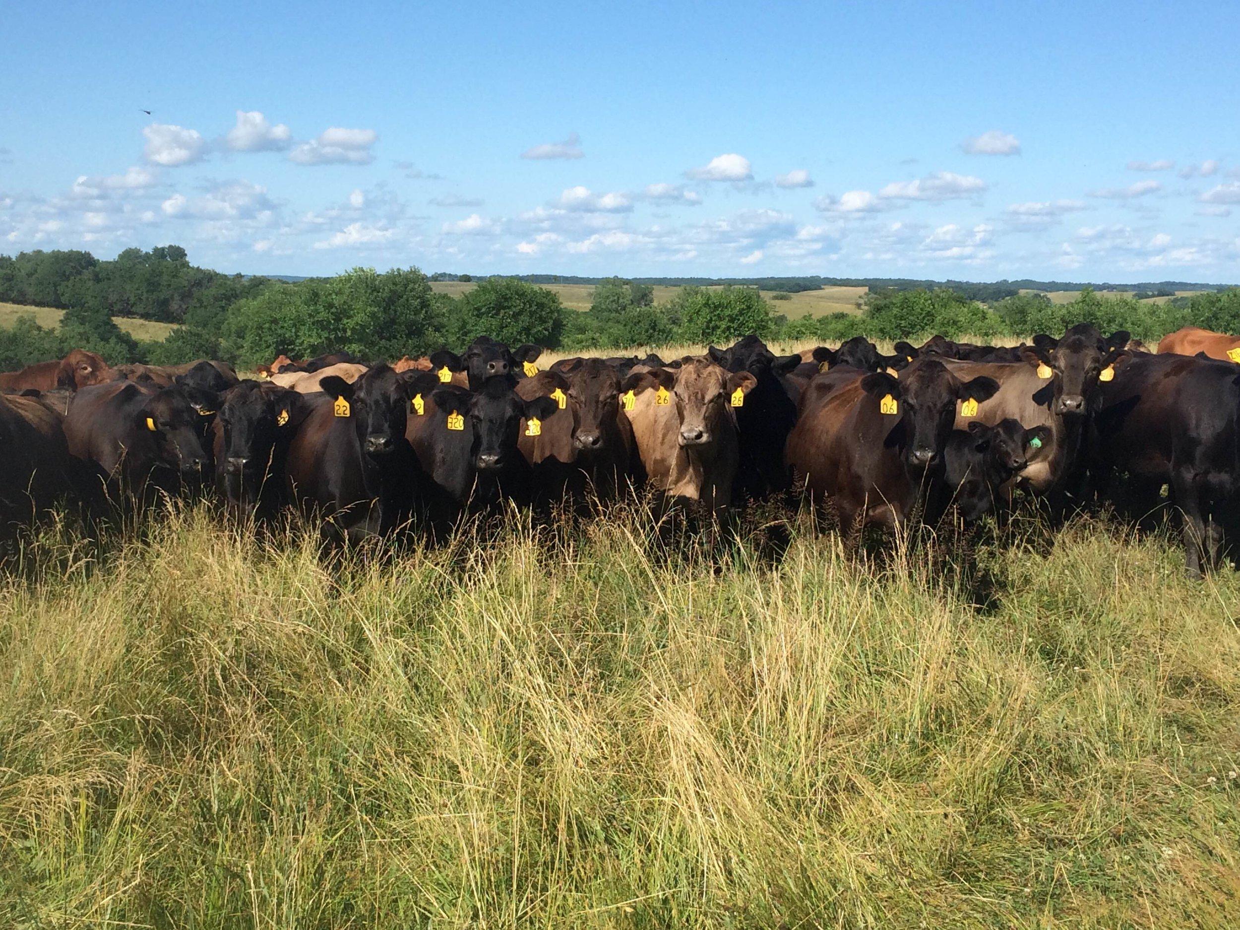 lacona-herd.jpg