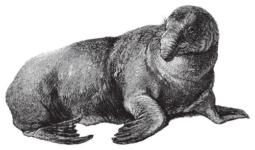 Elephant seal (Cystophora proboscidea) / vintage illustration from  Meyers Konversations-Lexikon , 1897  Credits: Hein Nouwens via Shutterstock.com