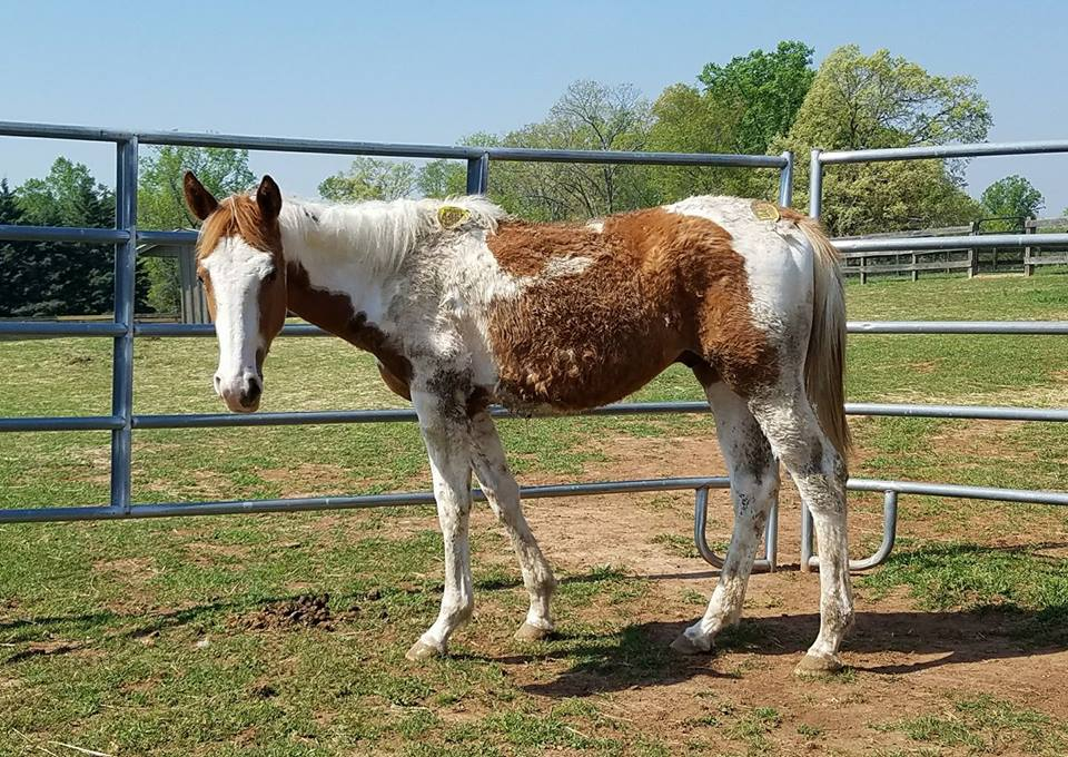 Stellar is a yearling colt that was rescued from a kill pen. He is now safe and has been adopted by a family in Florida. Your donation makes it possible for us to pay the ransom and get them transported to a HERD foster or a perminant adoption home!