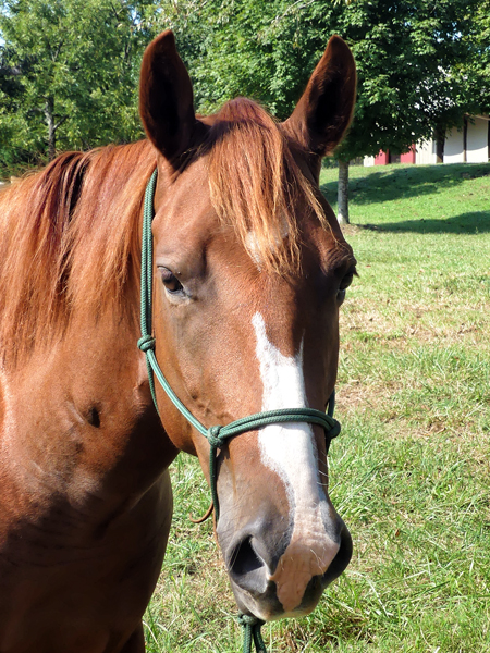 This stunning 15-hand three-year-old mare is in your pocket friendly. She is brave and curious. Katie has enjoyed her extensive ground work training and she is started under saddle. Katie has a floating trot and a very smooth canter. Likes to lead the way out exploring trails crossing creeks, she is a surefooted mare. Katie has one white spot on her belly which makes her a paint in addition to four white socks and a lovely head with a broken blaze. Katie came to HERD as a frightened two-year-old with little handling so she sure has transformed under the great care and training by Elaine Jankins. Now she is looking for someone to take her to the next level.   Adoption is $2,000.