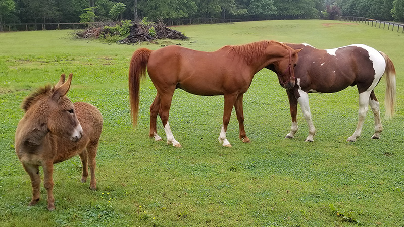 Love-at-first-sight-Chunky-Monkey-in-his-new-herd.jpg