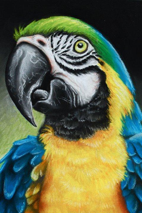 Macaw   | Chalk Pastel
