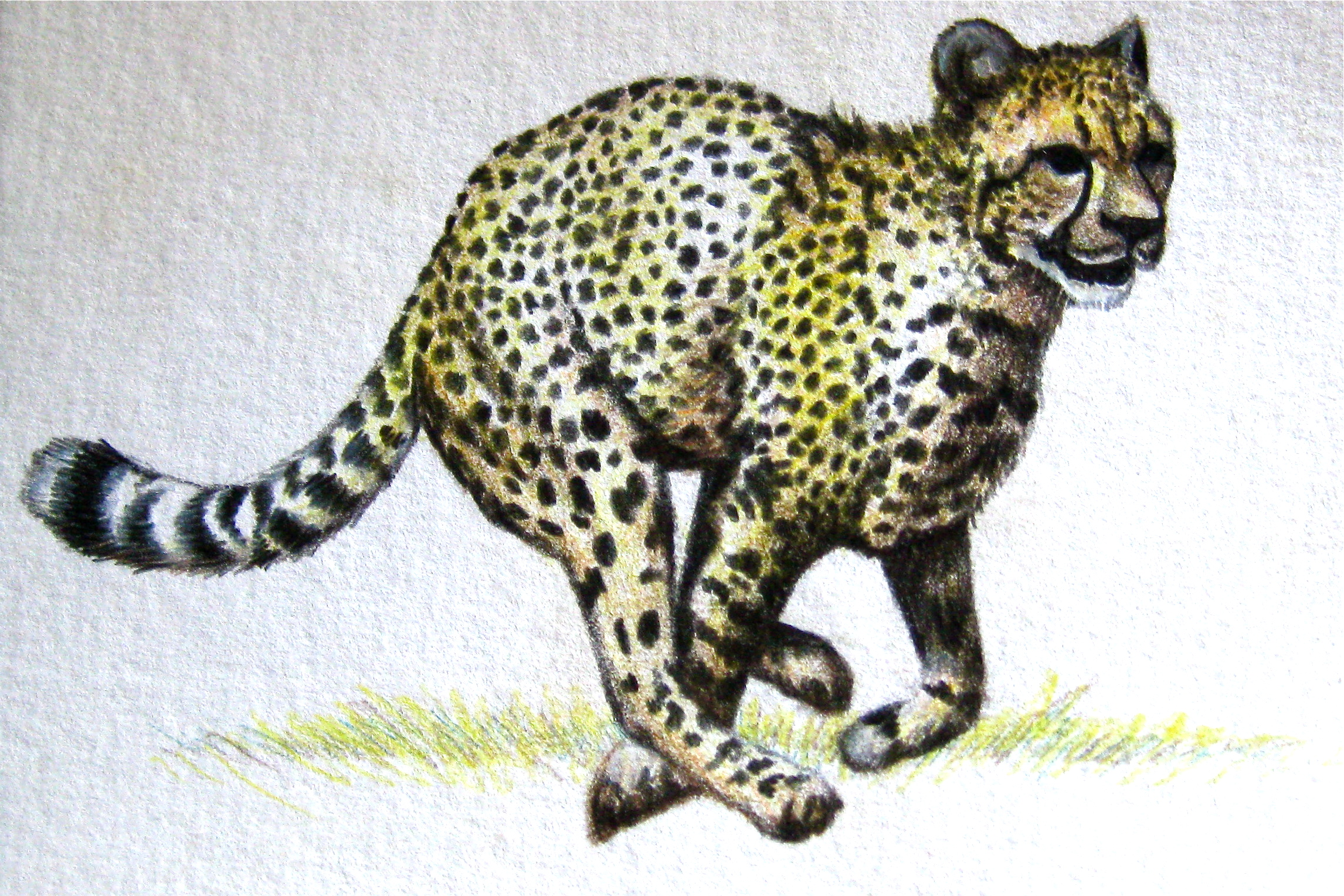 Cheetah   | Colored Pencil Study