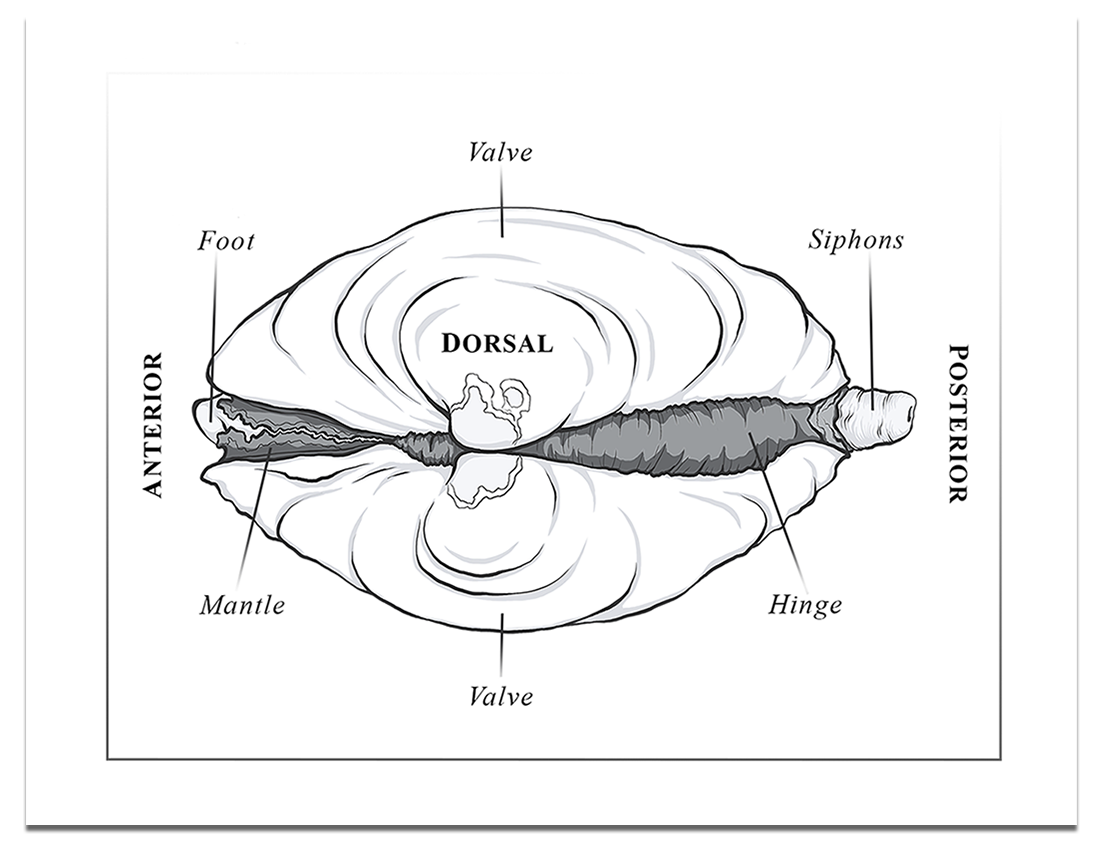 Bivalve-Anatomy-Diagram-Dorsal-View.png