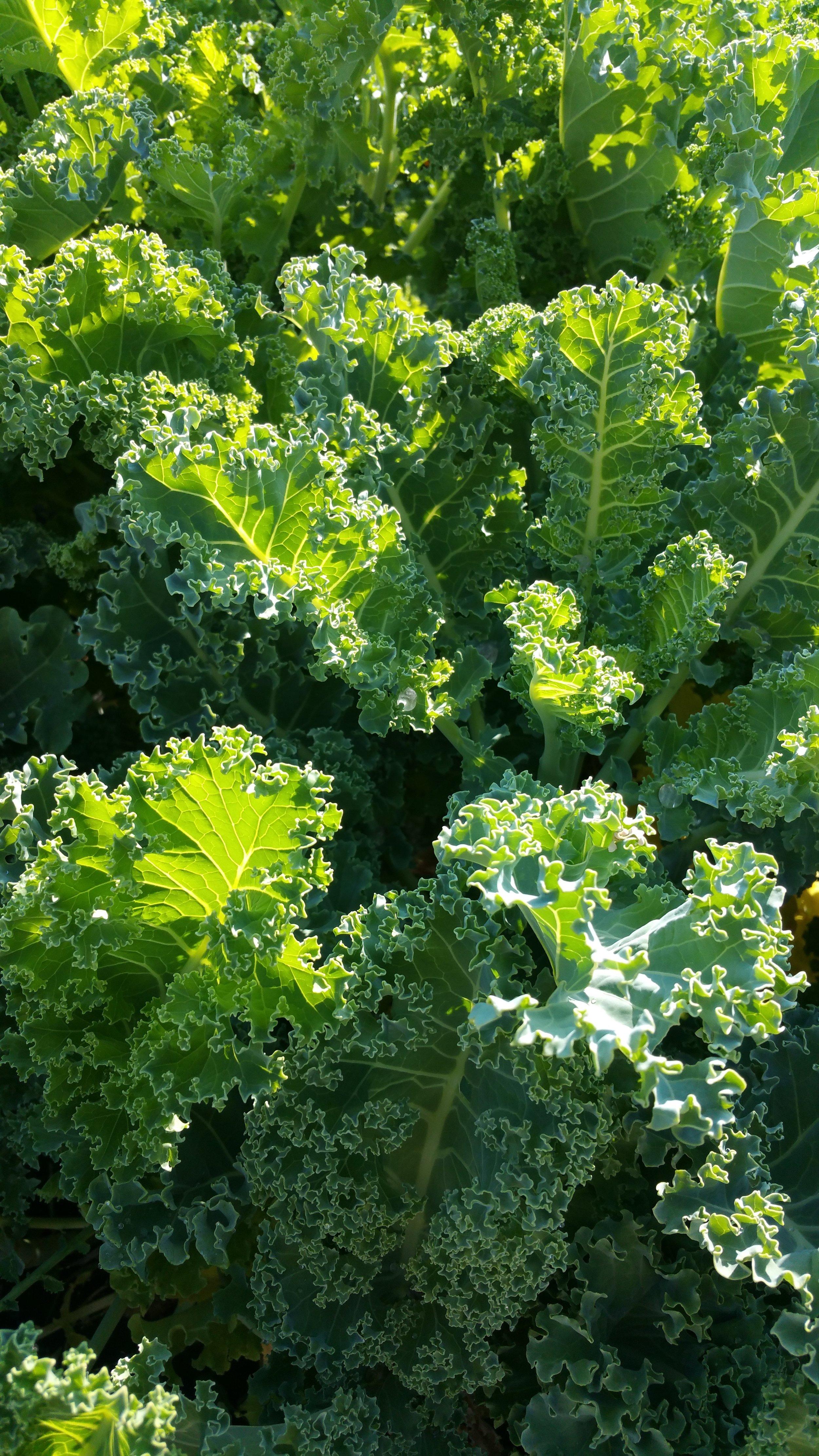 Green Nash Kale