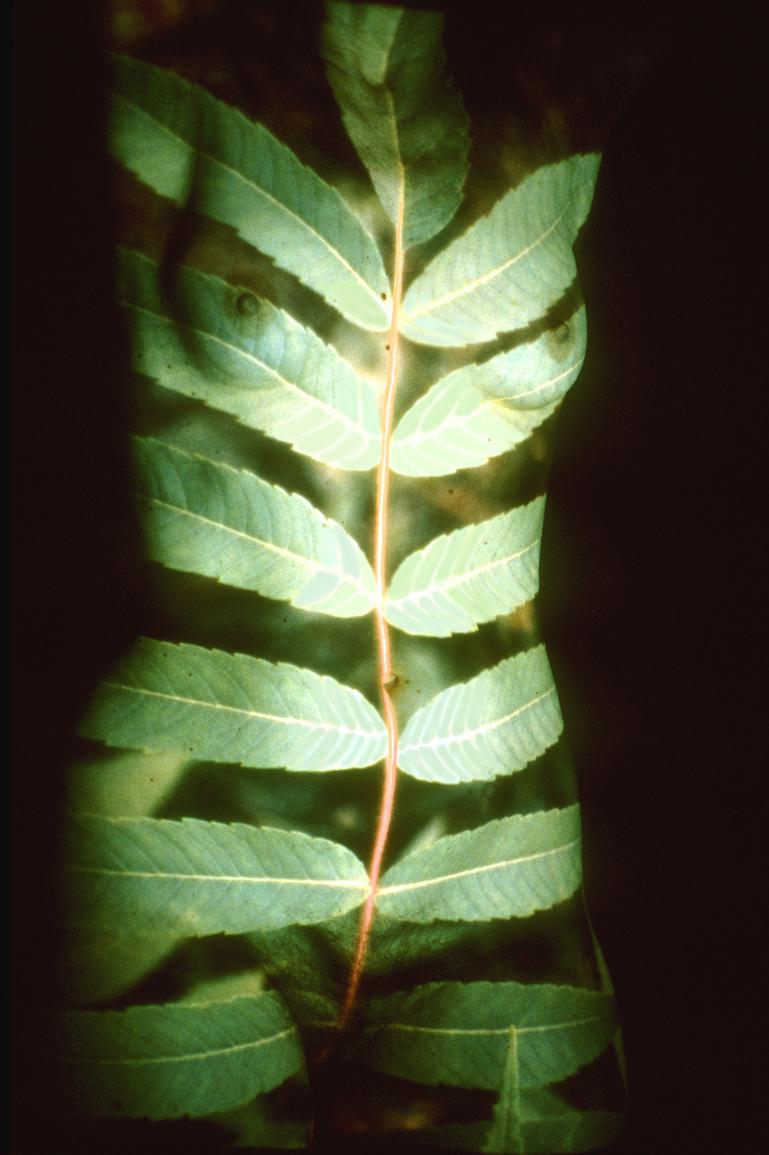 Patch_Tag#2_LeafFrond.jpg
