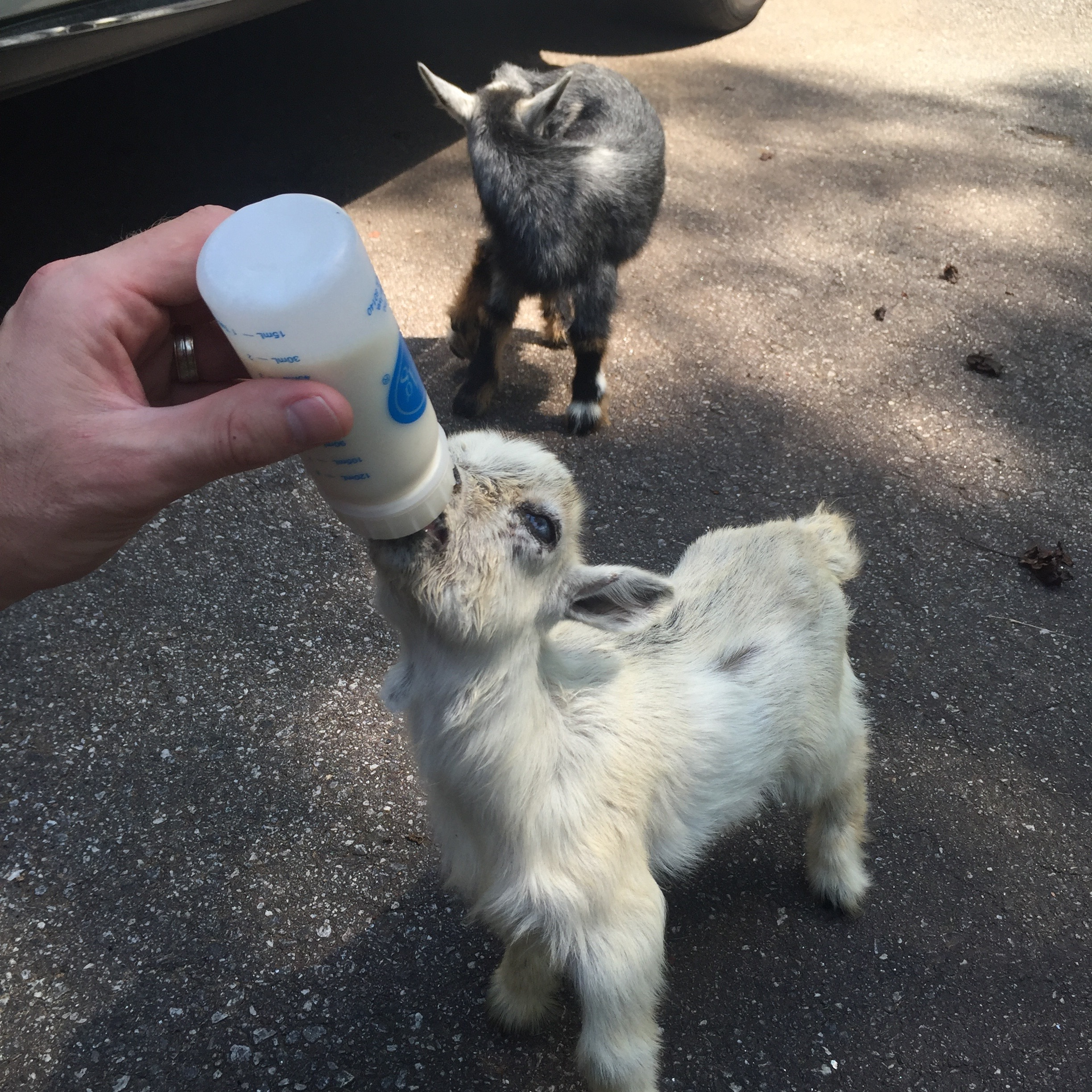 Baby goats at feeding time