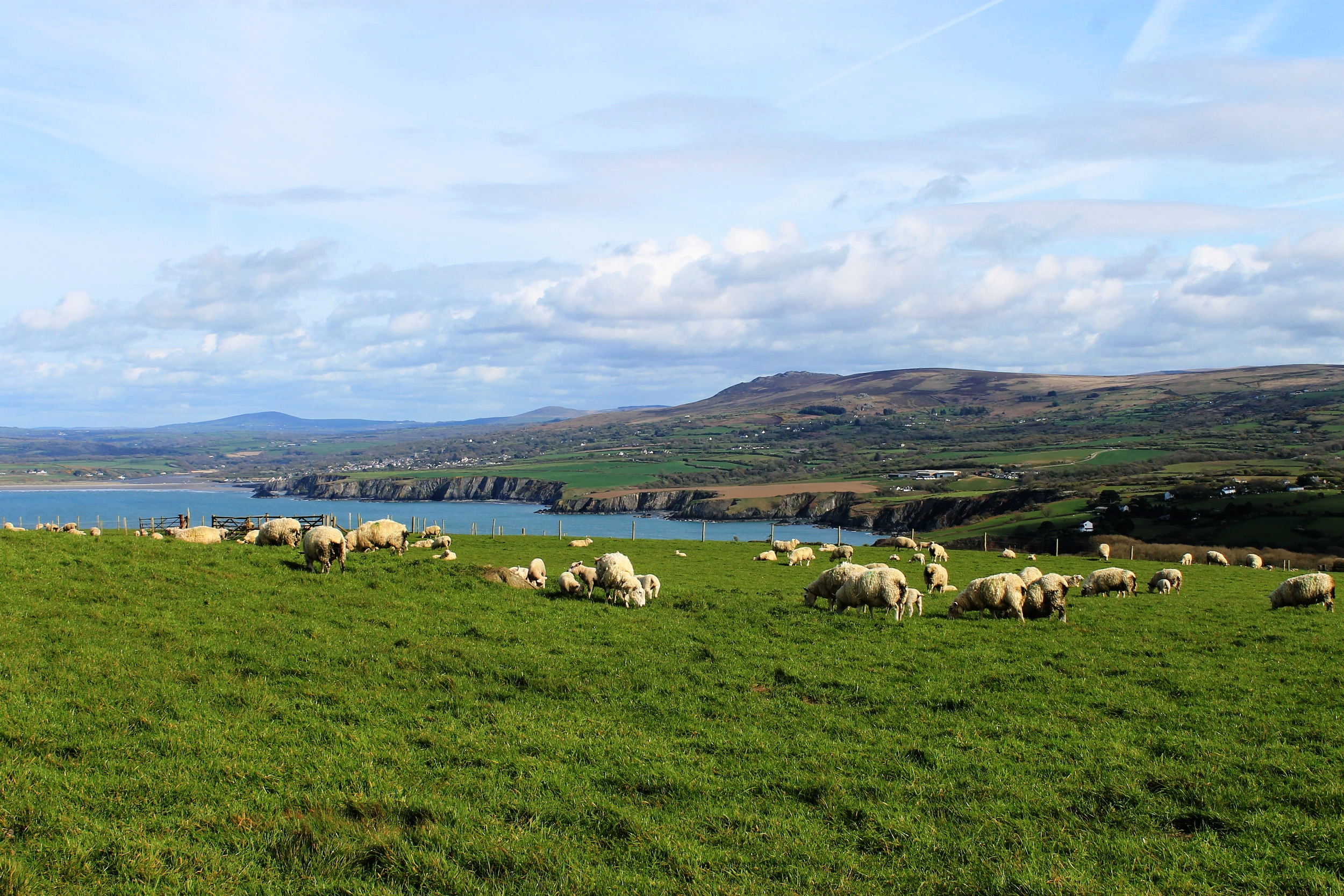 Sheep grazing on the Pembrokeshire Coast Path at Dinas Head