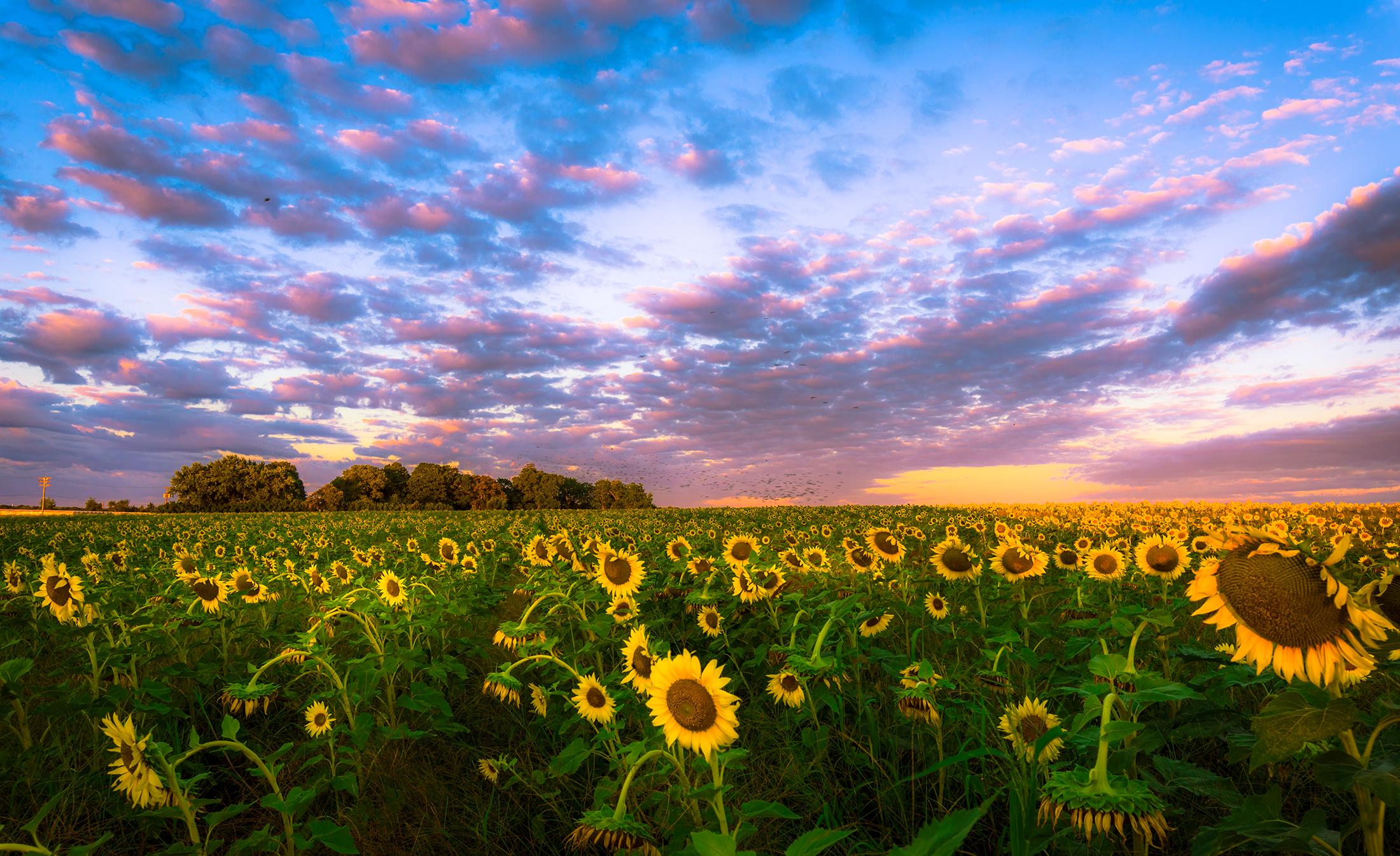 mattituck_sunflower_field.jpg