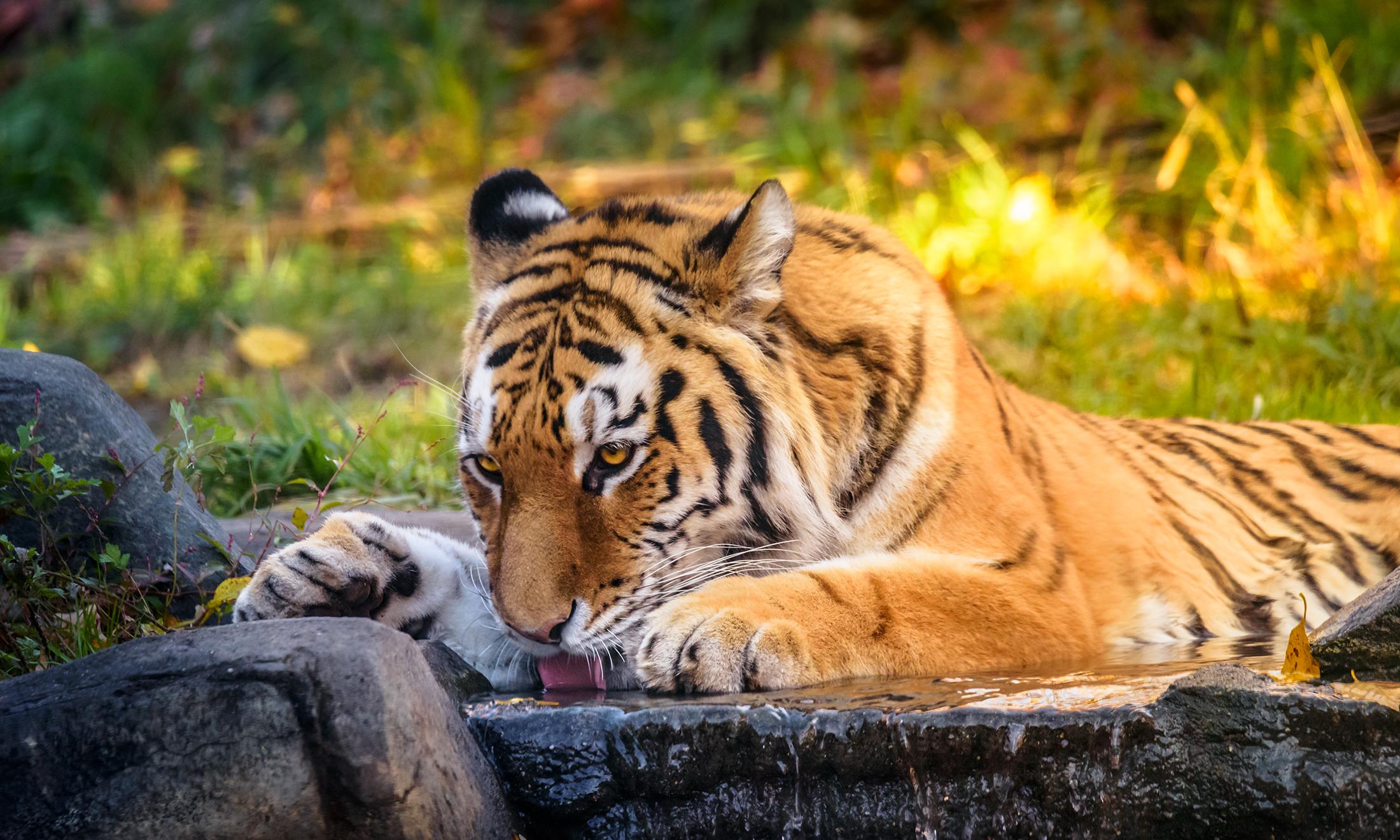 tiger_BX_Zoo.jpg