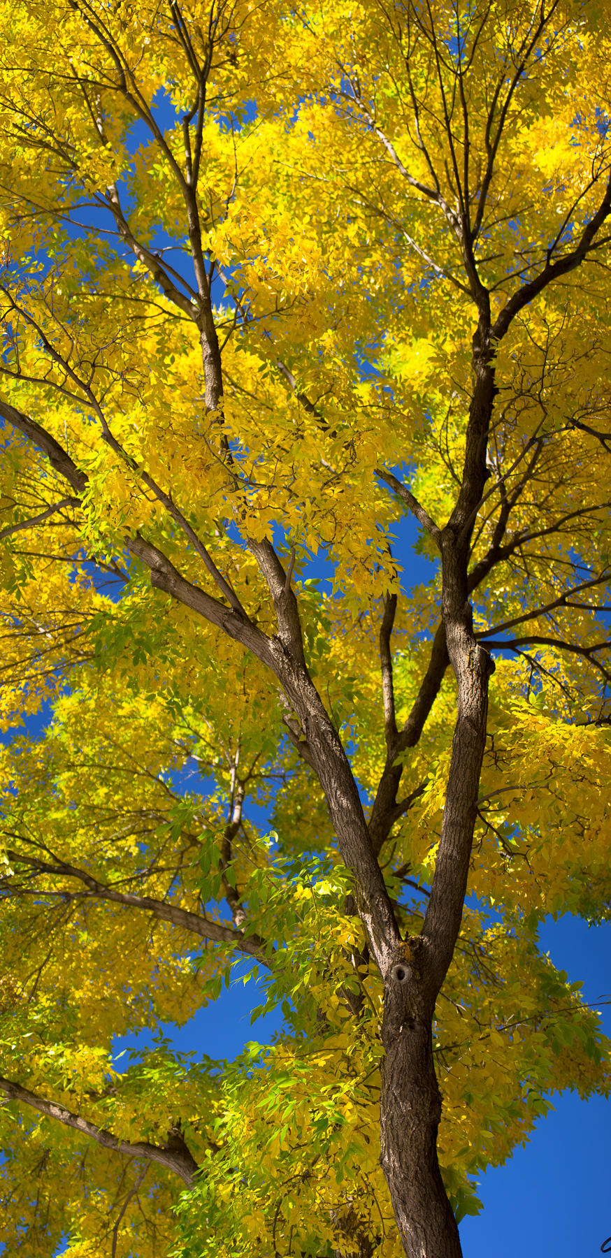 Ash Tree Downtown Aspen