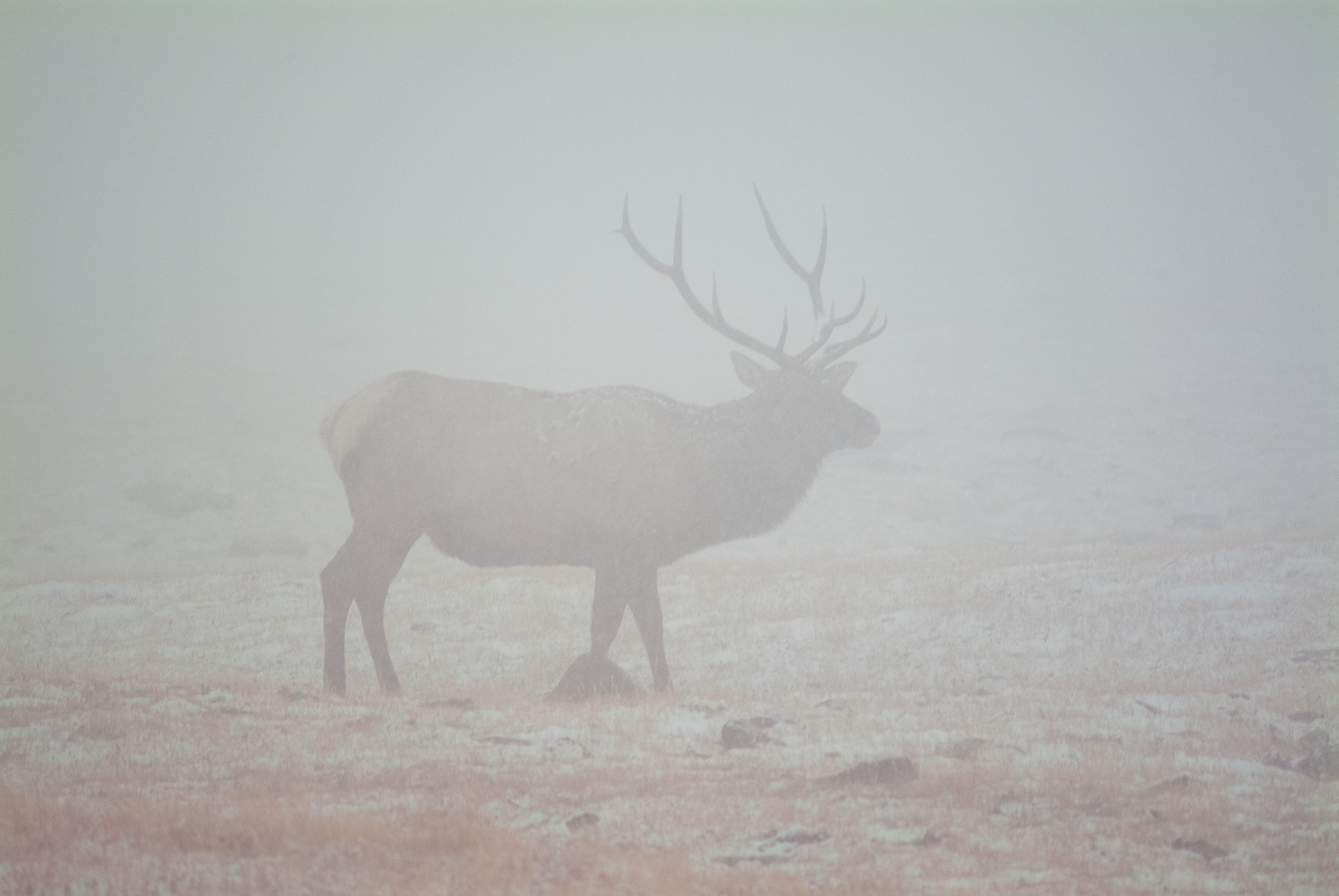 Bull Elk Silhouetted in Snow