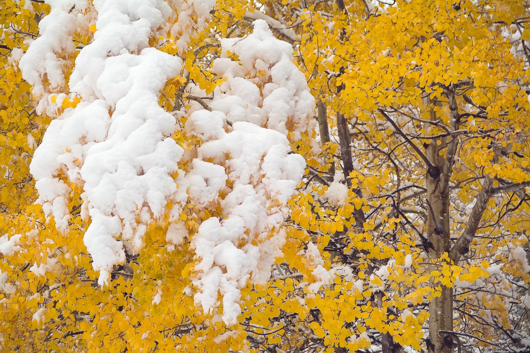 Snowy Aspen RMNPk