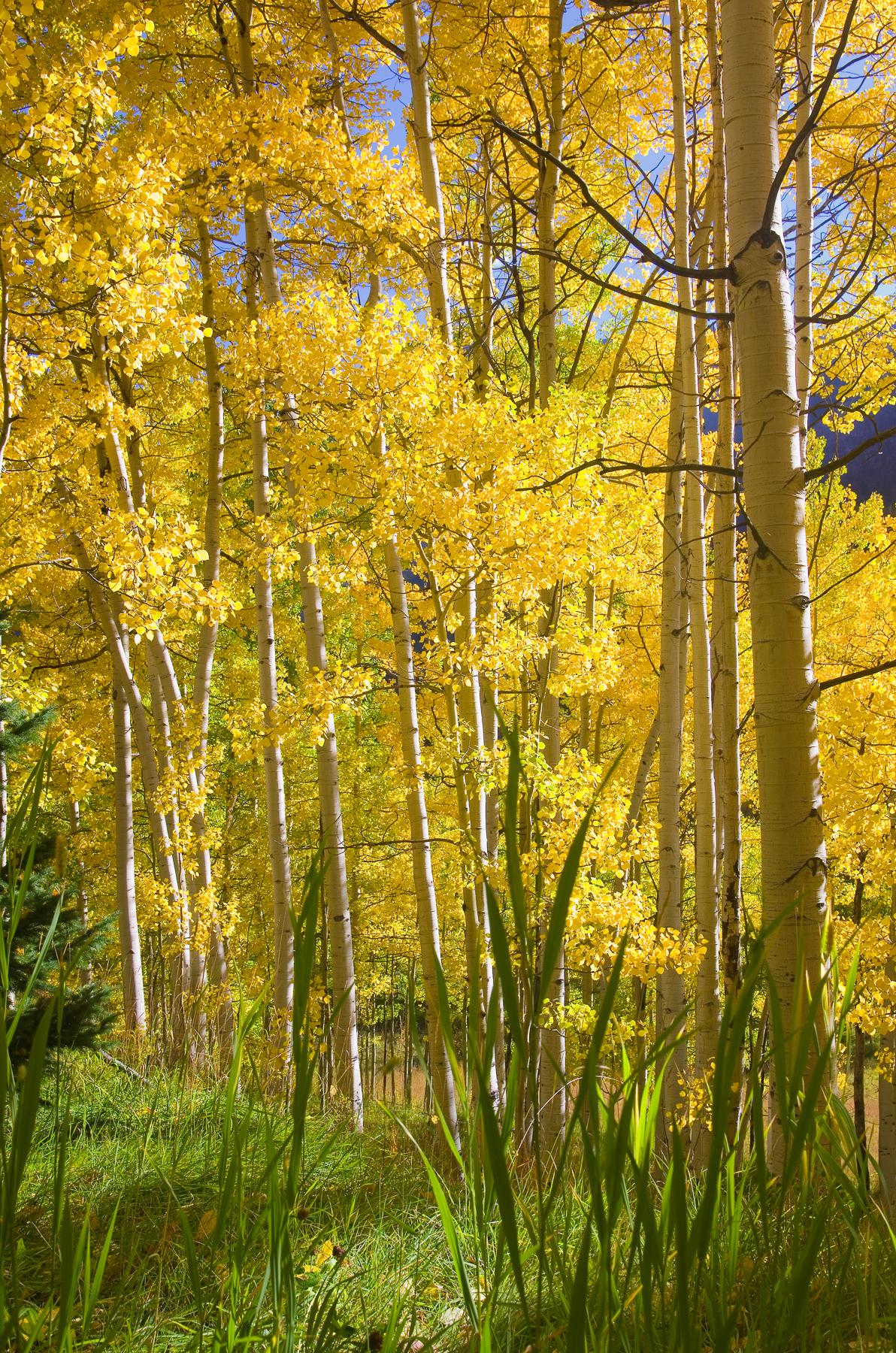 Aspen Grove Morning