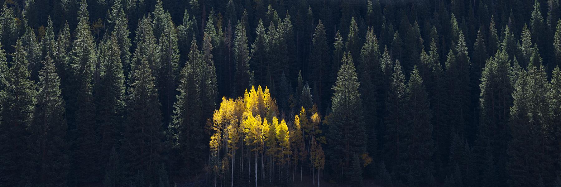 Aspen Glow in Pine Forest Ashcroft CO