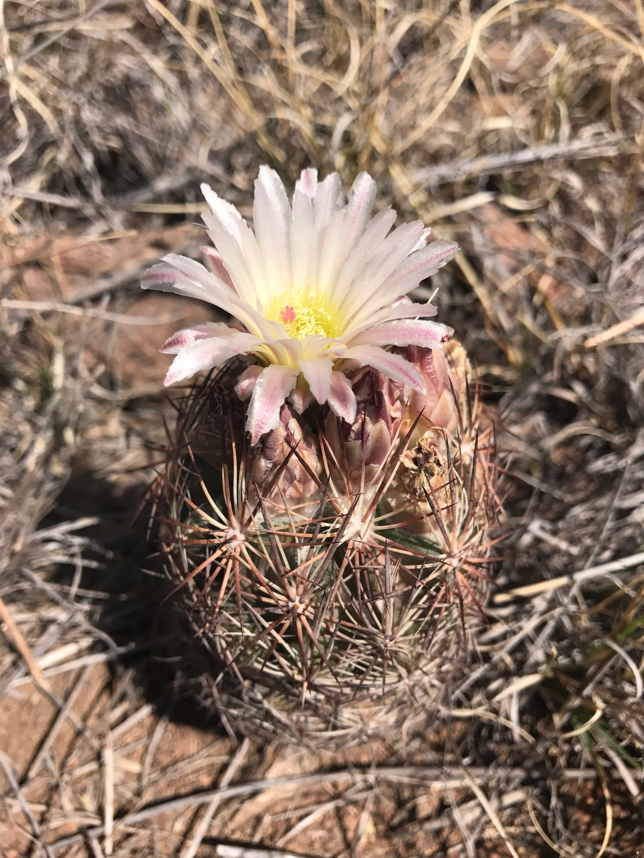 Found a few of these little hedge hog cacti blooming on the property.