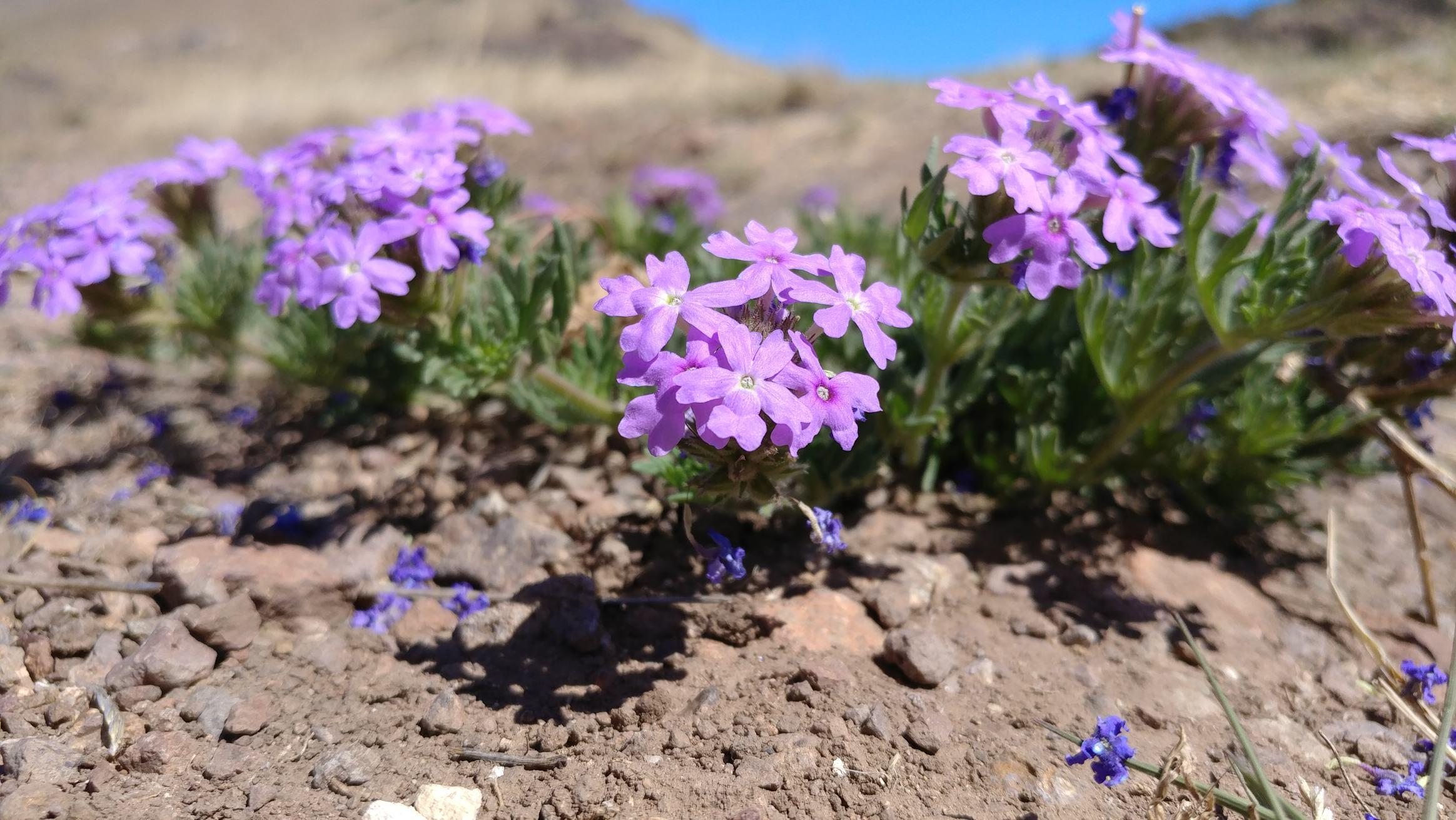 The first wild flowers of the year are blooming at Alta Marfa. (photo credit to George)