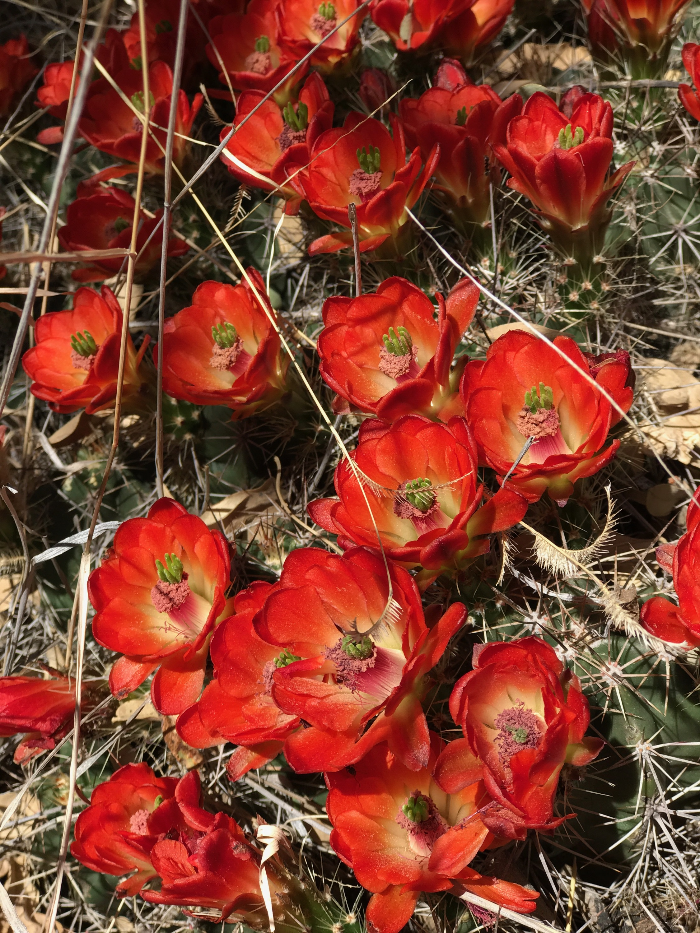 This is a Scarlet Beehive Cactus. . .               Flowers in the Desert > Flowers other places