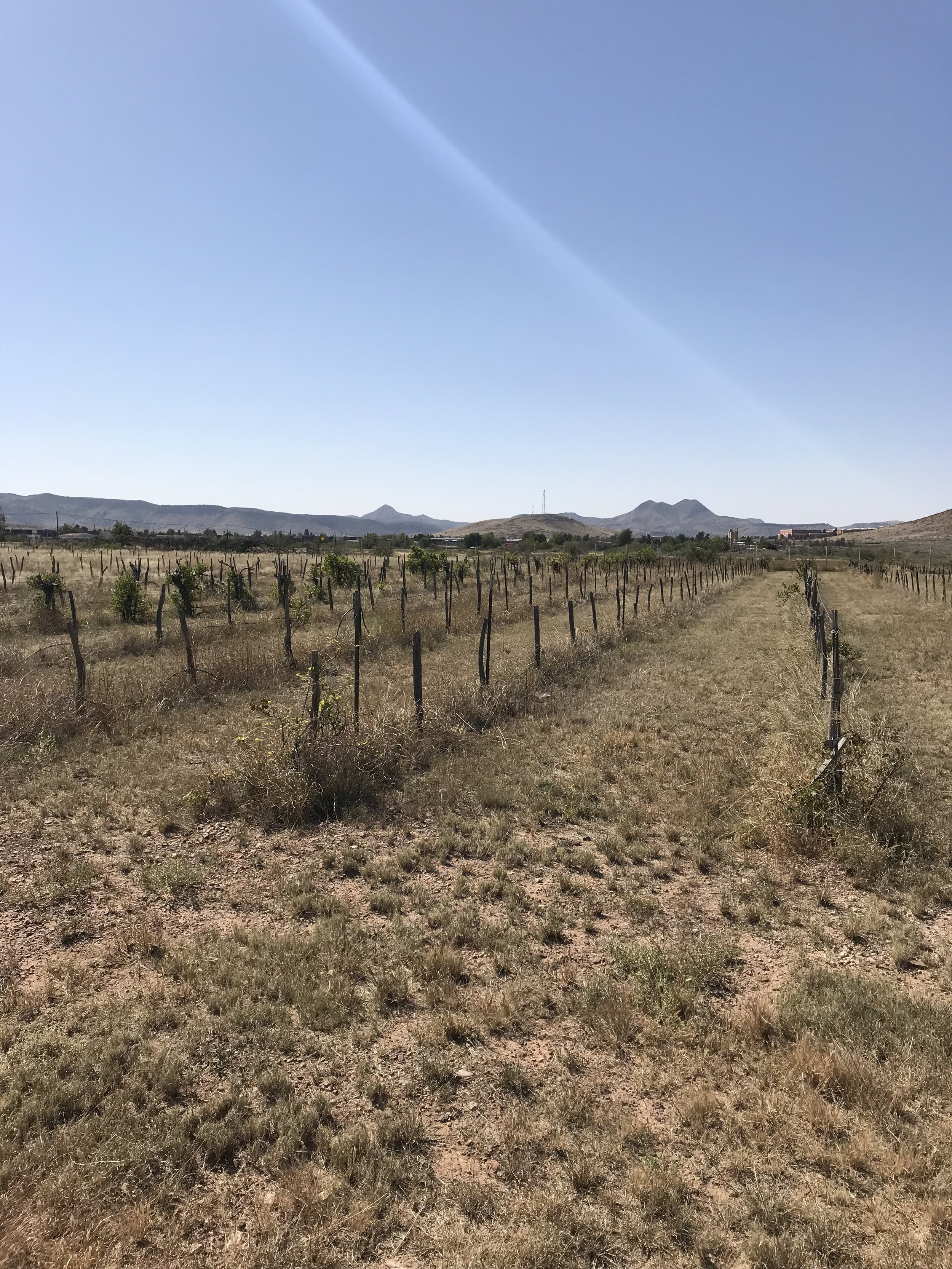 I'm fairly sure this was a research vineyard planted by Sul Ross State University in Alpine. It's just at the south end of town and seems almost all dead except for some of the root stocks.