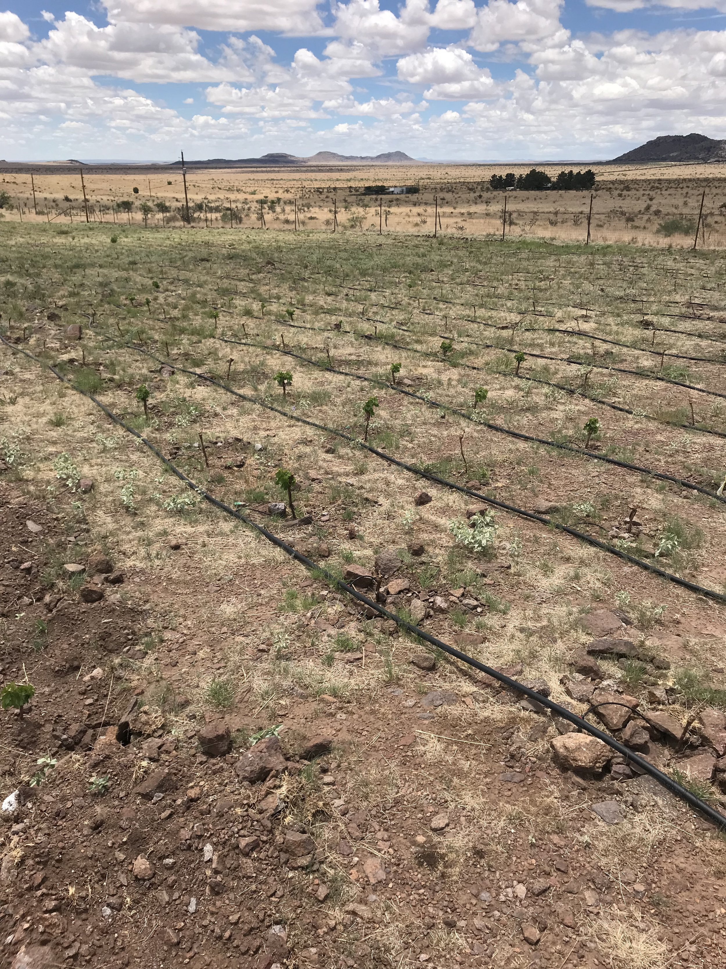 A patch of vines with a relatively high survival rate.