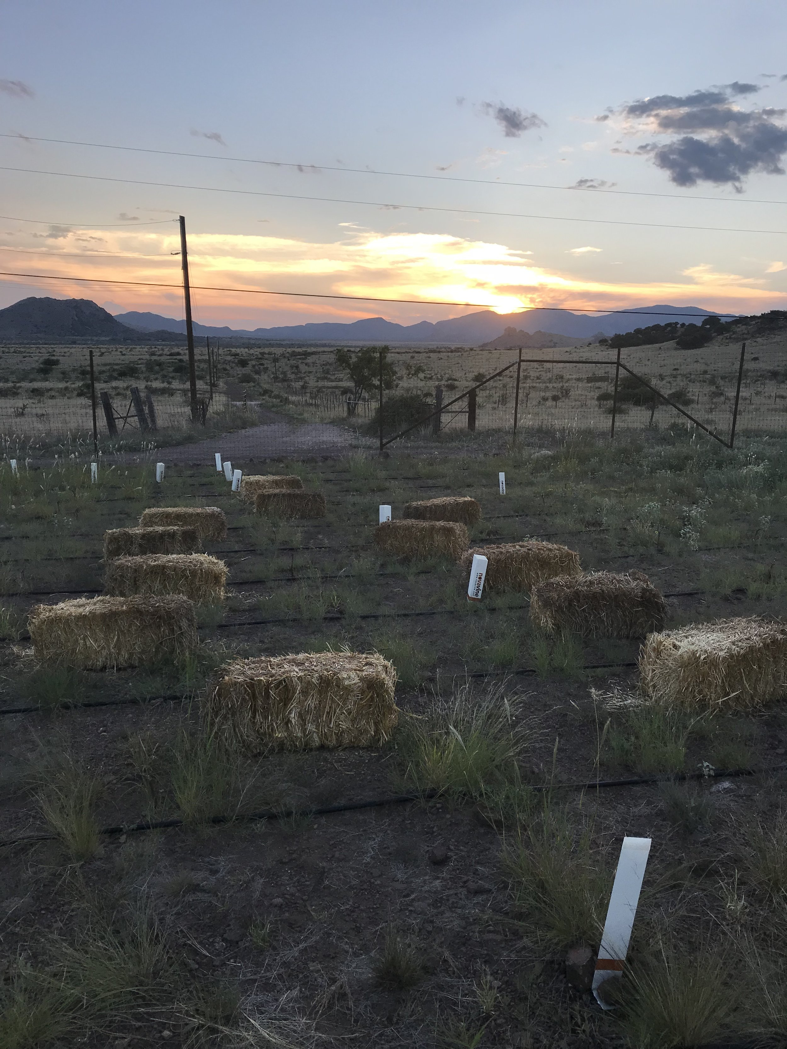 Laying out the bales before spreading out the straw. As you can see the grasses in this area of the vineyard are very sparse and you can see a lot of bare soil. You can also see from the white vine protectors that there aren't many surviving vines in this area of the vineyard.