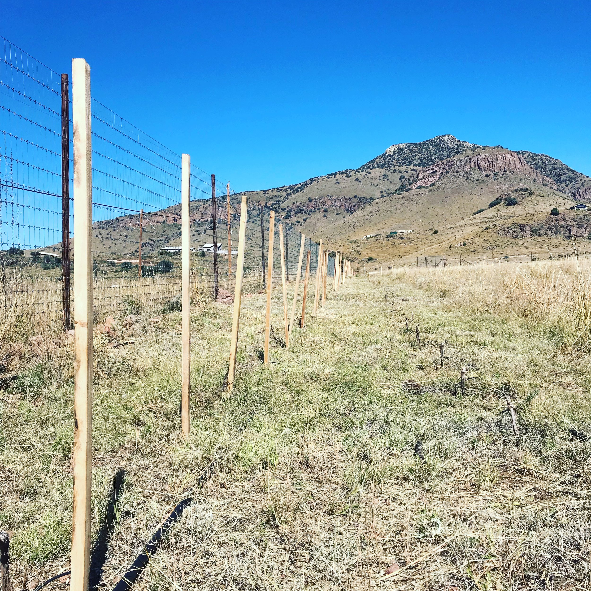 We are in the process of installing 6,000 plus untreated hardwood stakes. Each vine will have a stake for support as it grows. Mowing the grasses that have grown up in the vineyard throughout the growing season is another task we are working on currently. This mowing has several purposes. First, Because we are mowing the grass before it dies and dries out completely it will become green mulch and help build the soil as it composts. Second, the winter and spring in the Davis Mountains is extremely dry and windy, this means there is extreme danger of wildfires, by mowing we are removing potential fuel for a wildfire so that if one were to move through the vineyard it would run out of things to burn before the vines were damaged. Third, by creating a layer of green mulch on the surface of the soil we hope to prevent as much moisture as possible from evaporating out of the soil during the dry winter and spring.
