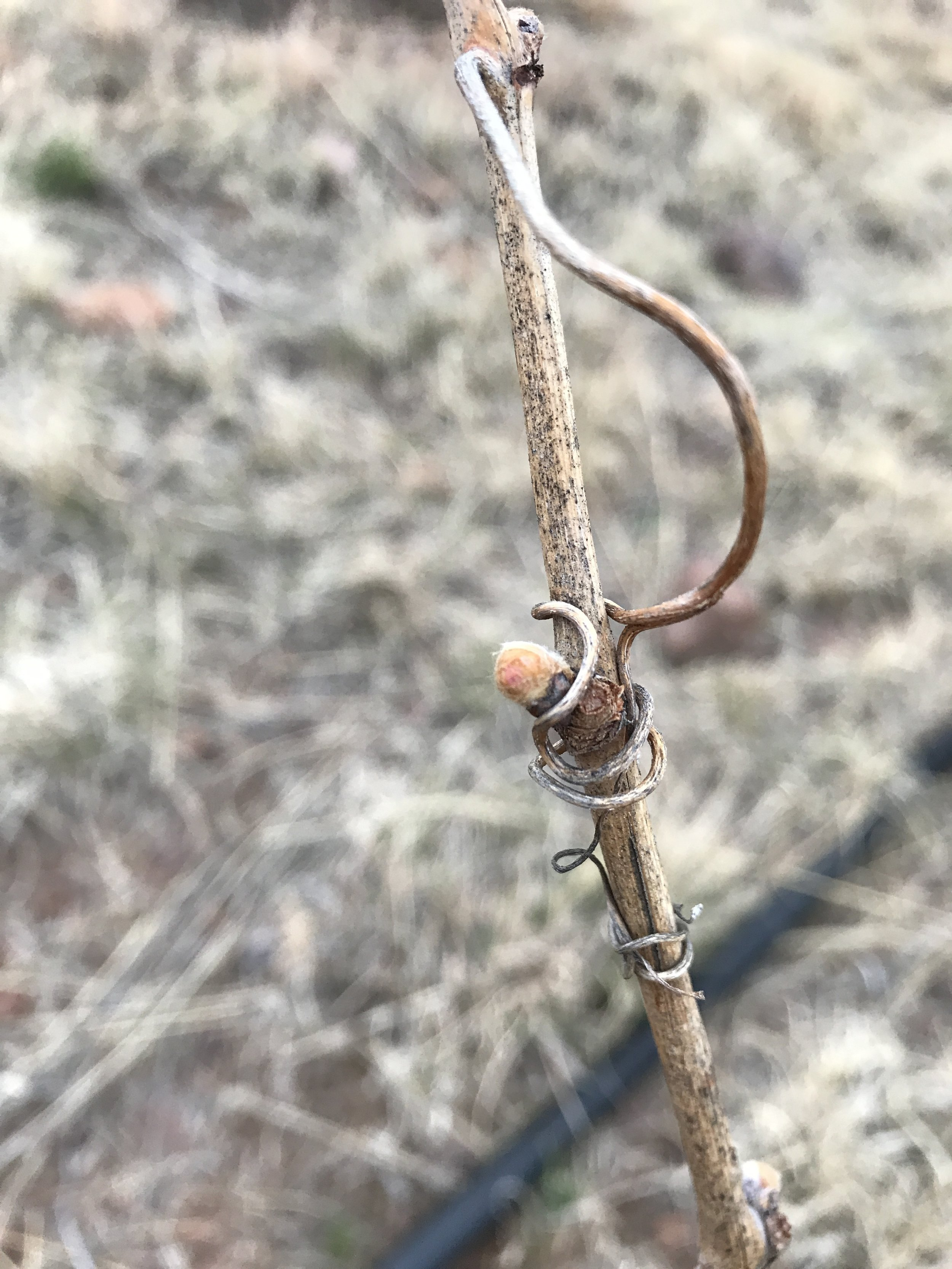 Shortly after that 20 degree weather at the beginning of March we had our first bud swell ever at Alta Marfa. This is a petite manseng vine that was among the first vines that went into the ground last April.
